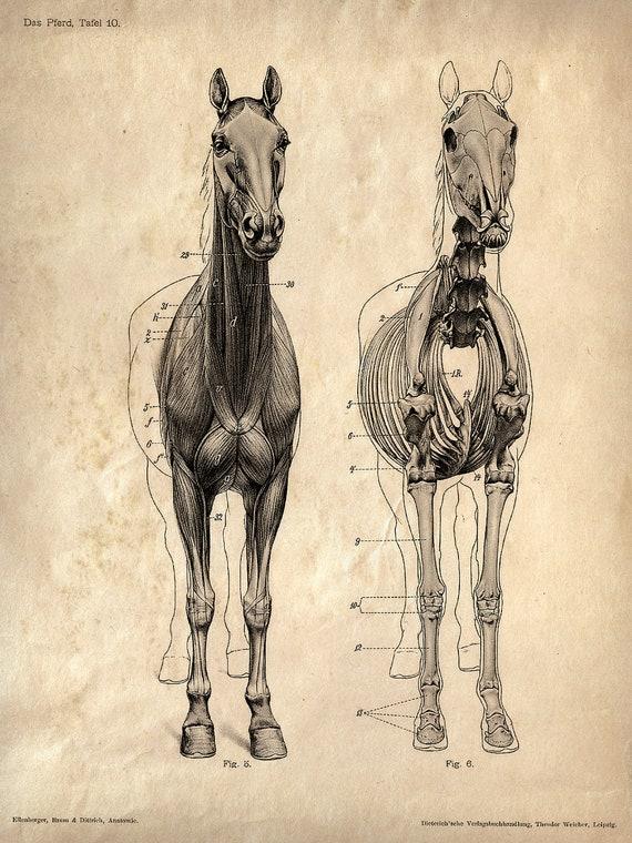 Vintage Science Animal Anatomy Study Poster. Horse Skeleton