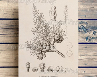 Printable art, Vintage botanical print, Tree print, Conifers, Monterey cypress, Download, 8x10 print, 11x14 print, A3 print, PNG JPG #