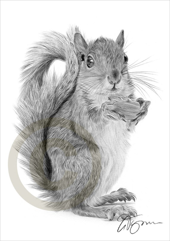 Red Squirrel pencil drawing print A4 size artwork signed