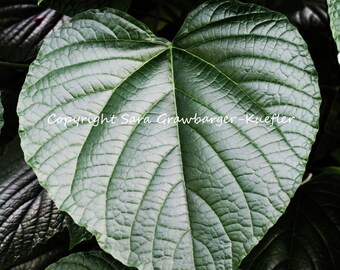 "Heart Shaped Leaf - Fine Art Photograph - 8 x 10"" - Nature Decor"