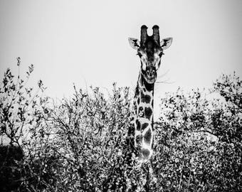 Giraffe, African Safari Photography, Black and White, Wall Art and Home Decor - Above the Trees