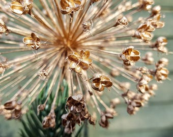 Star Christmas Tree Decoration / Natural Christmas Decoration / Allium Seed Head Decoration / Stunning tree decoration / Table Decoration