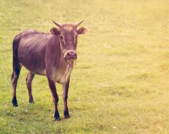 Baby Animal Photography, calf photo, horns, nursery decor, farm animal, country decor, cattle, soft yellow, nursery art, childrens room