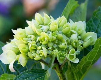 Emerging Hydrangea, Flower Photography