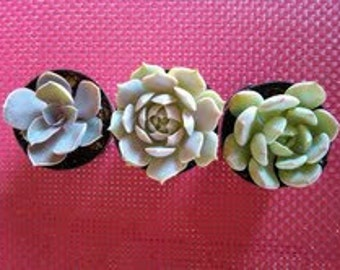Three Small Succulent Plants - Trio of Succulents