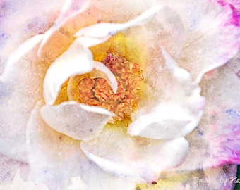 Digital Art - Fine Art Photography - Pink and White Rose