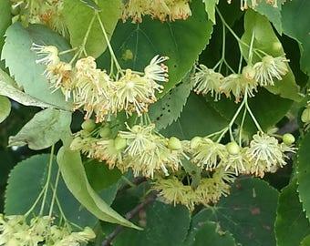 linden flowers mid summer