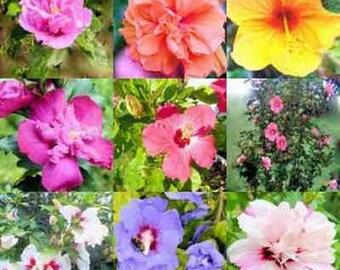Rare! Rose of Sharon, Mix Hibiscus Giant Tree, 100 seeds