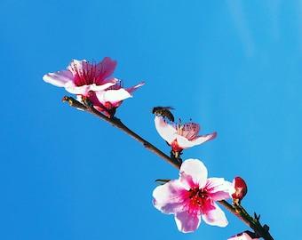 Contemporary art Photograph - Spring Blossom #8 fine art print -  photography -  wall art - flowers - spring blossoms - pink blossoms