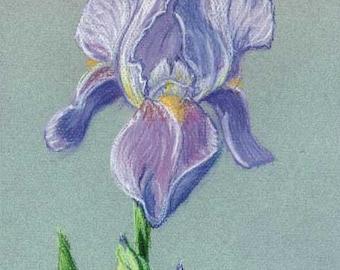Purple Iris - reproduction print off-white mat