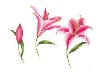 Three Pink Lilies- Watercolor Painting