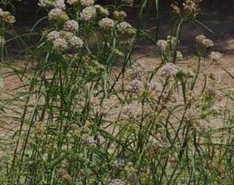 Narrowleaf Milkweed Seeds