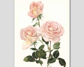 "Pink Cottage Chic, 1960s Watercolor Flower Print, Vintage Rose Botanical ""Confidence"" No. 26"