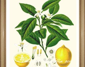"Lemons Print. Citrus Print. #1  Botanical Print. Lemons. Fruit Print. Citrus Fruit Wall Art, 8x10"" 11x14"""