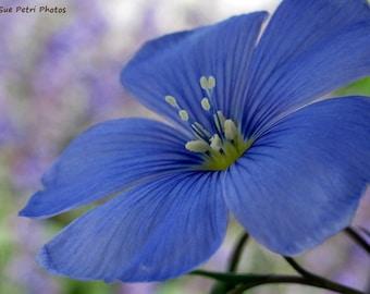 Wild Blue Flax, Garden Art, Blue Bedroom Decor, Flower Photos, Nature Photos, Romantic, Shabby Chic, Cottage Chic, Women, Blue, Garden Art