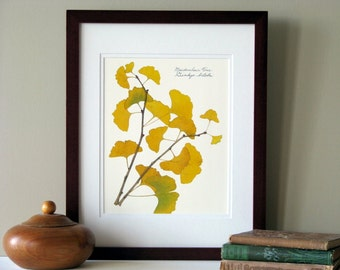 Pressed leaf print, 11x14 double matted, pressed Ginkgo leaves, tree branch, Ginkgo tree, wall art no. 0085