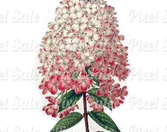HYDRANGEA instant download, wedding clipart, digital flowers, pink JPG digital download no.024