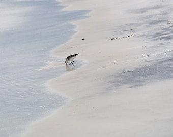 Fine Art Photography Canvas Print - The Sanderling on the Beach