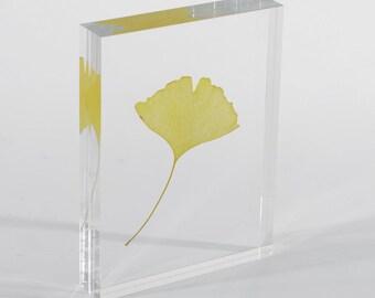 Ginkgo leaf plastinate in acrylic