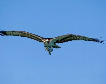 Osprey bringing home super