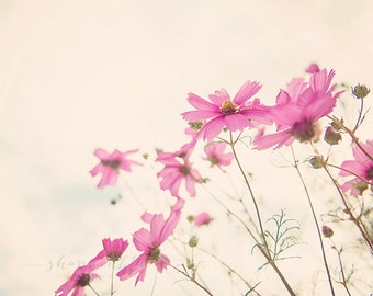 cosmo flower nature photography / pink, purple,summer, wall art / cosmo / 8x10 fine art photography