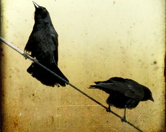 Gold Black Crow Photograph--Morning Chatter--Fine Art