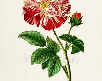 Rosa Mundi Rose Flower Art Print, Botanical Art Print, Flower Wall Art, Flower Print, Floral Print, Red White Rose Art Print, Home Decor