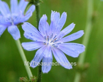 Beautiful blue wild flowers, 11X14 fine art photograph
