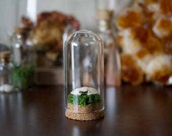 Small calico crab shell in glass dome