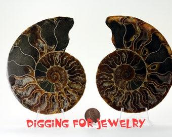 AMAZING Quality! ReAL Split in half-  Ammonite- AMMONITE Fossil - Nautilus Cephalopod Shell -  Display Fossil - Large Shelf Size
