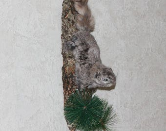 Siberian Flying Squirrel - Taxidermy Mount, Stuffed Animal For Sale - ST3911