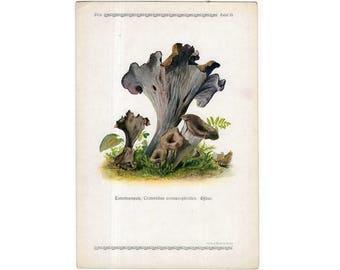 c. 1921 - EDIBLE MUSHROOM LITHOGRAPH - original antique print - fungi toadstool mycology bolete shrooms - horn of plenty