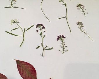 Natural Pressed Flowers - Alyssum