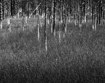 White Trunks III: An Archival Pigment Fine Art Print of the Fossilized Trees in Yellowstone, Wyoming