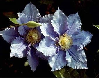 2 year plant ~ Clematis Will Goodwin ~ reblooms