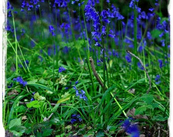 Hyacinthoides non-scripta 'English Bluebell' [Ex. Staffordshire, England] 100+ SEEDS