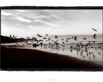 Flurry, Seagulls flying at Canon Beach, Oregon, Black and White