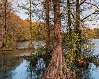 Bayou Forest Photography, Cypress Tree, Mississippi Fine Art Print,  Swamp Life, Nature Photography, Deep South Decor, Lake Art, Office Art