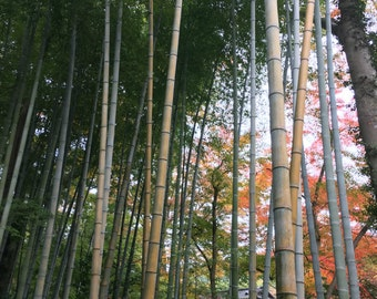 Bamboo Grove Izu Japan Autumn Fall Leaves Nature Photography Digital Download High Resolution Color Photo