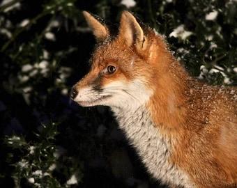 Fox in profile. Wall Art, house art, fox art, fox lovers, british wildlife, rustic art, rural art, woodland art,