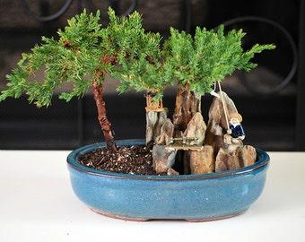 Live Zen Juniper Bonsai Tree - Free Shipping - Nice Gift