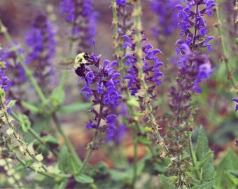 Bumblebee Garden Photo - Pollinator With Purple Salvia Flowers Photograph - Soothing Nature Art - Purple and Green - Fuzzy Bee - Serene Calm