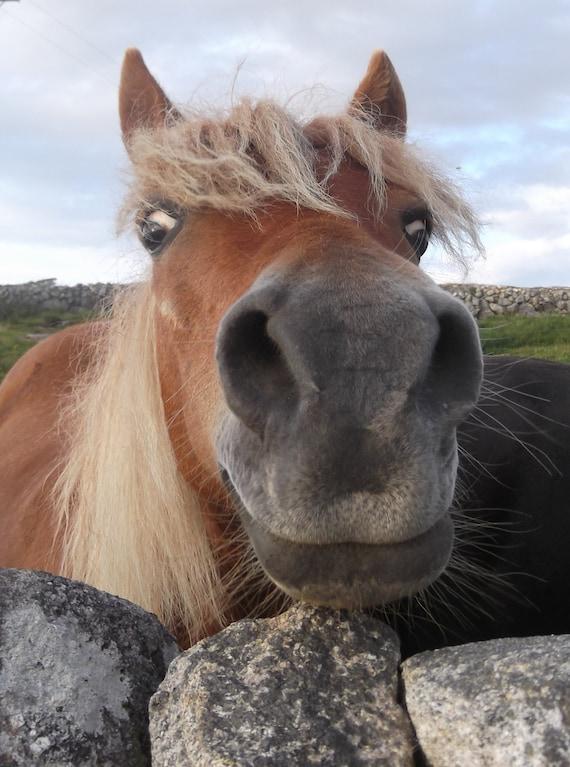 "Ireland Nature Photograph of a Smiling Connemara Pony 18""x12"""