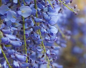 Wisteria Flower Card A6