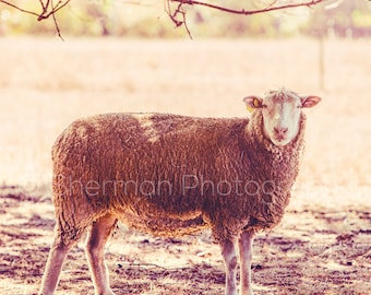Farm Photography - Sheep Photography - Farm Print - Sheep Art - Shabby Chic Decor - Home decor - Rustic Decor Animal Photography - Cute