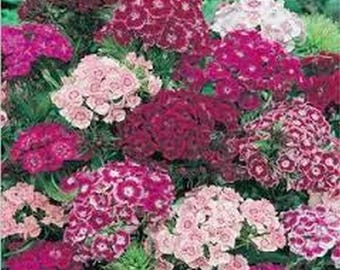 Dianthus- Sweet William Mix- 200 Seeds