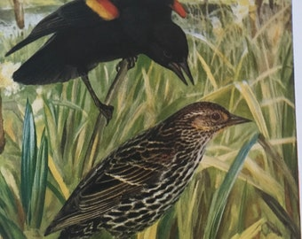 Redwinged blackbird illustration for framing R Bruce Horsfall