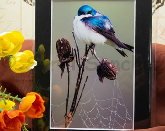 Tree Swallow - Matted Print
