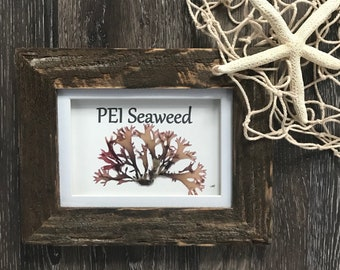 Genuine PEI  Irish Moss Seaweed