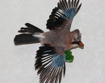 Eurasian Jay - Taxidermy Bird Mount, Stuffed Bird For Sale - ST3808